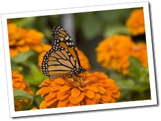 1358007_monarch_and_zinnia