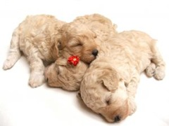 352530_little_puppies