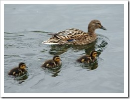 519449_ducklings