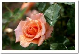 1397350_rose
