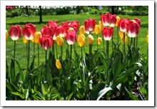 1278264_tulips
