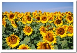 1283984_sunflower