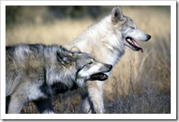 306745_wolves_howling_wolves1_1