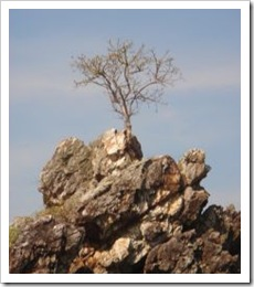 1149770_tree_on_rock